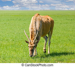 primavera, antílope, eland, estepa, pasto