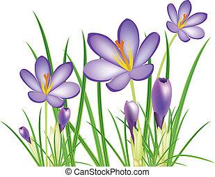 primavera, azafrán, flores, vector, illus