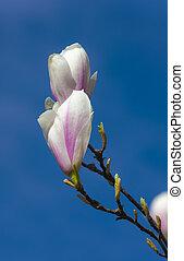 primavera, azzurramento, magnolia