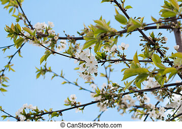 primavera, blanco, en, cielo azul, plano de fondo