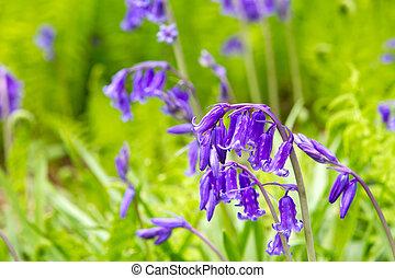 primavera, bluebells, crecer, en, campo inglés