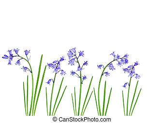 primavera, bluebells
