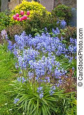 primavera, bluebells, en el jardín