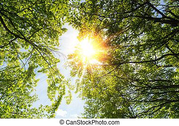 primavera, brilhar sol, através, a, copa árvore, com, céu...