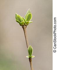 primavera, brotos, e, folhas