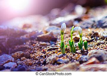 primavera, bucaneve