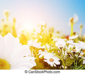 primavera, campo, con, flores, margarita, herbs., sol, en, cielo azul