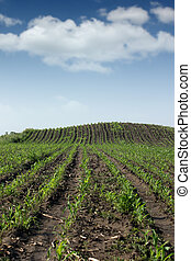 primavera, campo, maíz, Agricultura, estación