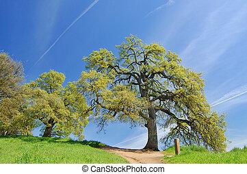primavera, carvalho, árvores