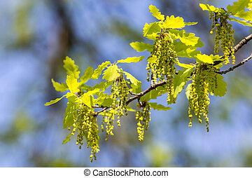 primavera, carvalho, ramo