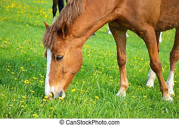 primavera, cavalo, capim, comer, campo