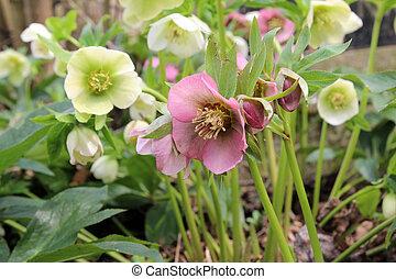 primavera, christrose, ou, snow-rose, flores