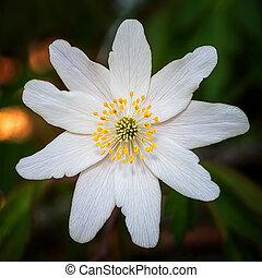 primavera, closeup, windflower, durante