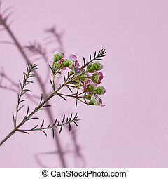 primavera, composición, un, rama, de, rosa florece, en, un, fondo rosa