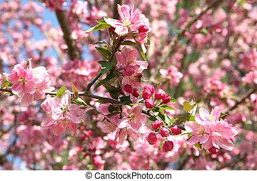 primavera, crabapple