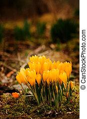 primavera, croco