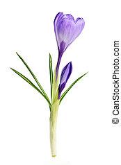 primavera, croco, fiore