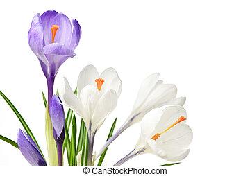 primavera, croco, fiori