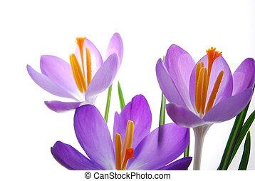 primavera, crocuses, in, vibrante, colori