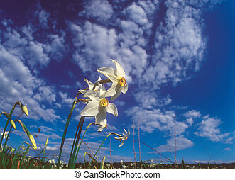 primavera, daffodils.