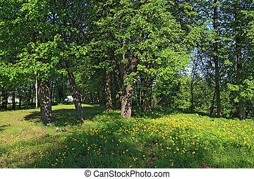 primavera, dandelions, madeira, amarela
