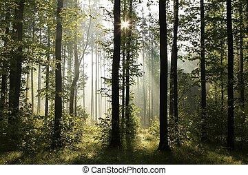 primavera, decíduo, floresta, alvorada