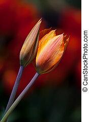 primavera, due, giallo, tulips