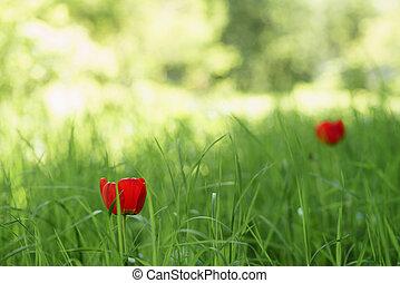 primavera, due, verde, tulips, erba, rosso