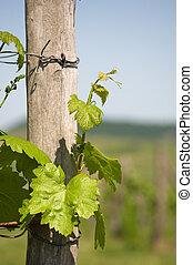 primavera, em, a, vineyard.