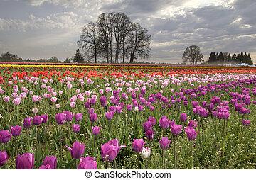 primavera, en, tulipán, granja