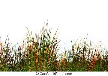 primavera, erba, isolato