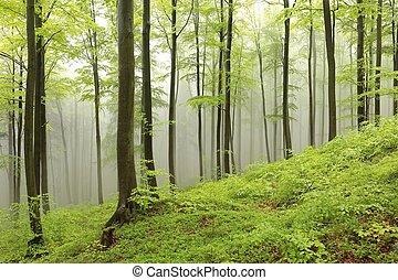 primavera, faggio, foresta, in, il, nebbia