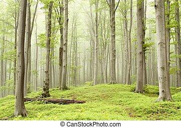 primavera, faia, floresta, em, a, nevoeiro