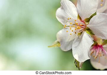 primavera, fiore