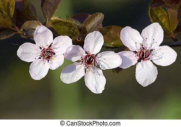 primavera, fiore, su, brnach