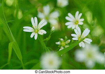 primavera, fiori bianchi