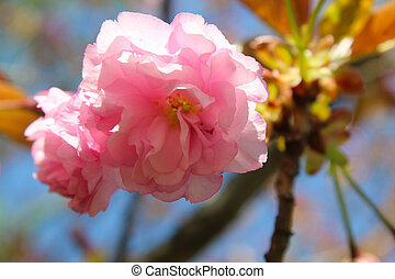 primavera, fioritura, albero