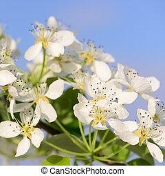 primavera, fioritura, frutteto