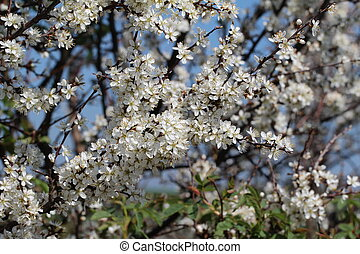 primavera, fioritura