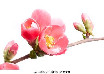 primavera, fioritura, mela cotogna