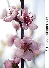 primavera, flor rosa