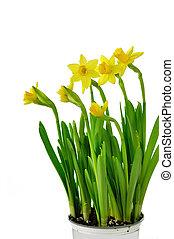 primavera, flores amarillas