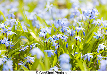 primavera, flores azules, glory-of-the-snow