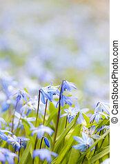 primavera, flores azules, glory-of-the-snow