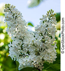 primavera, flores brancas