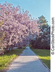 primavera, flores, de, árvores fruta, rua, de, academcity, novosibirsk
