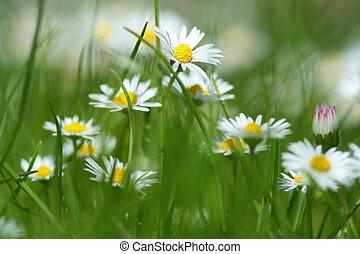 primavera, flores, margarita