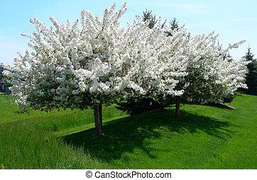 primavera, florescendo, árvores