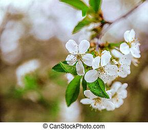 primavera, florescendo, ramos, cereja