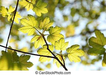 primavera, foglie, acero